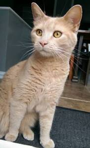 "Adult Male Cat - Domestic Short Hair: ""Abricot"""