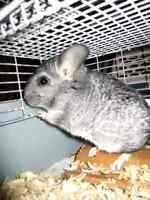 Chinchilla to good loving home