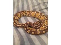 Male caramel albino ball python