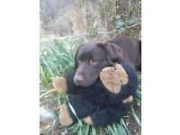 Fantastic KC Registered Chocolate Labrador Puppies - Boys and Girls