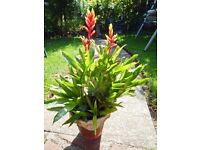 BROMELIAD VRIESEA-This plant has bright red and yellow bracts which the flowers come from.
