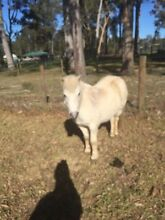 Shetland pony Wyong Wyong Area Preview