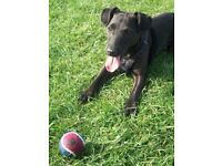 9 Year old patterdale needing rehomed