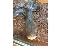 Male reticulated python, 11ft 4 yrs old