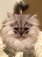 ADORABLE Persian/Himalayan 11wk old kittens available!!