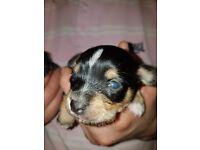 Chorkie Chihuahua x yorkie girl puppies