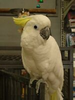 Medium Sulfur Crested Cockatoo and large cage