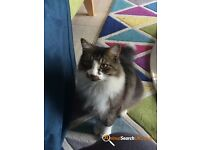 Missing Cat - Pepper has been missing since 8pm 16th October 2016 - Little Bealings, Suffolk