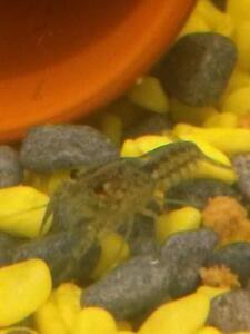 Electric blue crayfish