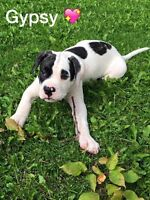 Only 1 AMERICAN BULLDOG LEFT READ AD FOR CORRECT CONTACT NUMBERS