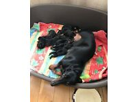 Dachshund puppies for sale only 1 left!