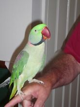 Lost Alexandrine Parrot- Hunter Valley Rothbury Cessnock Area Preview