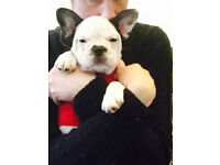 female pied french bulldog kc ready to leave