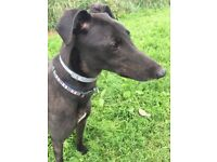 Charlie the greyhound needs a special home to spend his retirement