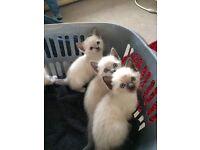 Beautiful Burmese kittens