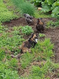 2 Silkie Roosters for sale