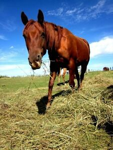 Extremely Friendly Registered Quarter Horse Mare