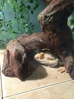 Adult Bearded Dragon, Everything included 74 Gallon Tank ++