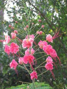 Pink Pride of Barbados (20 seeds) Peacock Flower (Caesalpinia Pulcherimma)