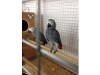 African gray pairs