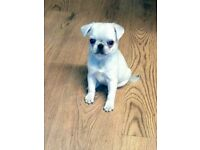 Female white pug pupy for sale