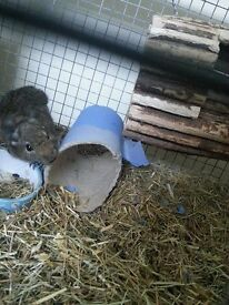 Two pet degus (with cage, hay and food)