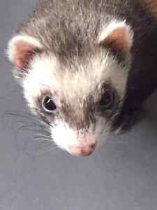 Furet avec cage / ferret with cage negotiable