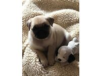 """""ready now"""" Kc Reg pug pup"