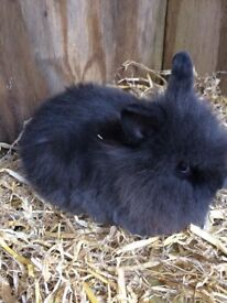 Baby lion head rabbits forsale