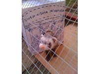 Ferret/Rat/Small pet Holiday Sitting