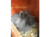 Female lionhead rabbit and hutch