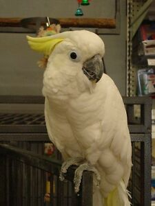 Medium Sulfur Crested Cockatoo