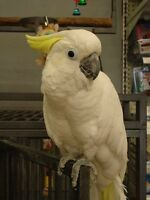 Cockatoo and large cage