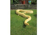 12ft female Albino Burmese python