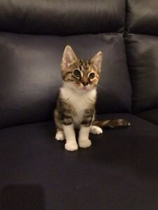 Rescue Kitten-Hunter Valley Cat Haven Kurri Kurri Cessnock Area Preview