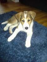 Lab and Collie Mix Puppy Free to a Very Good Home