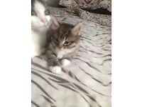 Beautiful long haired tabby blue eyed kitten needing a home!!