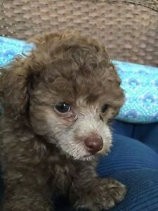 Wanted! Female Toy Poodle Melton South Melton Area Preview