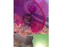 Syrian Hamster Free to Good home with Accessories (cage, wheel, etc.)