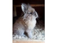 Lionhead mini lops and loin lop and netherand