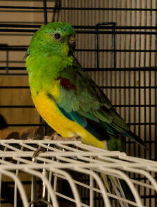 Tame Red Rump Parakeet female baby/ pair/ adult male