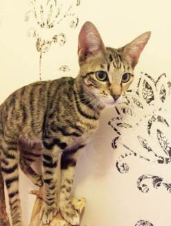 AK0925 : Moxxie - KITTEN for ADOPTION - Vet work included Thornlie Gosnells Area Preview