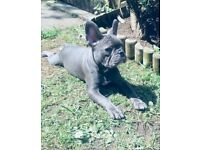 Blue French bulldog male