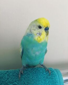 Wanted: BUDGIE LOST