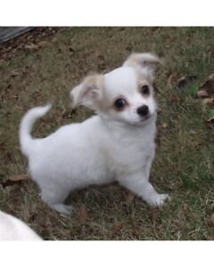 CKC Registered Purebred Male White Long Coat Chihuahua Pup