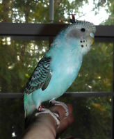 Tame Baby Budgie