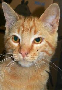 "Young Male Cat - Domestic Short Hair: ""Simon"""