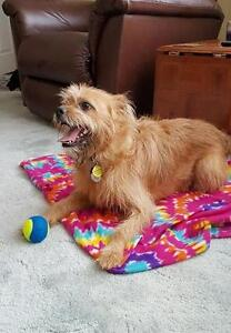 """Adult Male Dog - Terrier: """"Toby"""""""