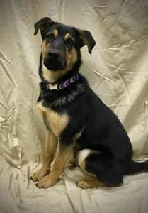 """Young Female Dog - German Shepherd Dog: """"Penny"""""""
