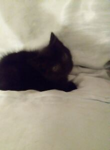 ***ADORABLE 7 WEEK SMOKEY BLACK BABY GIRL! ***HAND SIZED!***